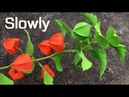 ABC TV How To Make Physalis Alkekengi Flower From Crepe Paper Slowly Craft Tutorial