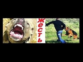Красноярск Стаффордширский Терьер Бос Кинулся Нападение Собаки Злой Пес