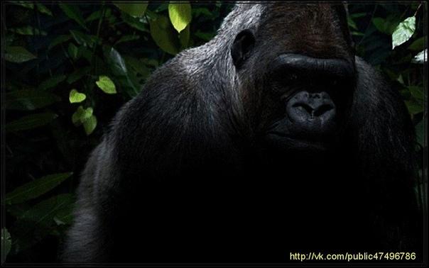 СЛОВО «ГОРИЛЛА» ПЕРЕВОДИТСЯ КАК ПОРОСШАЯ ШЕРСТЬЮ ЖЕНЩИНА Слово «горилла» название самых крупных представителей отряда приматов, вообще-то переводится как «поросшие шерстью женщины». Название это