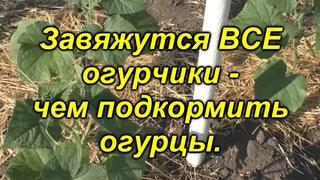 100 % все завязи на огурцах превратятся в зеленцы! Чем подкормить огурцы.