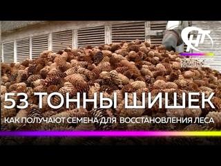 Сотрудники Боровичского лесхоза показали, как получают семена из собранных шишек