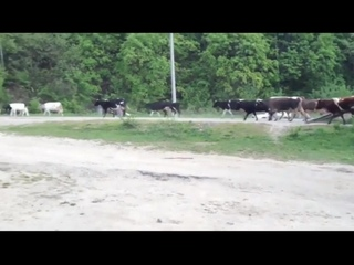 Урал лесовоз врезается в стадо коров