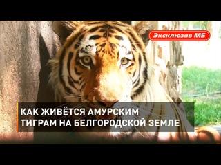 Как живётся амурским тиграм на белгородской земле