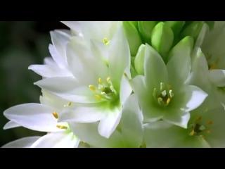 Как распускаются цветы – потрясающее видео.mp4