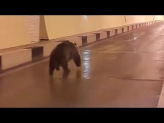 Медвежонок попытался нарушить границу Южной Осетии и России.