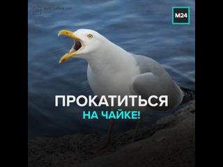 Одна чайка прокатилась на спине другой — Москва 24