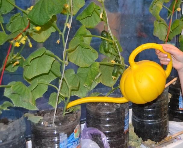 Свежие огурчики к новогоднему столу — выращиваем дома, изображение №4