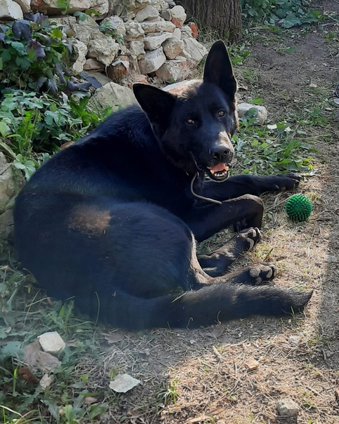 Здравствуйте. Пропала собака Немецкая овчарка, каб...