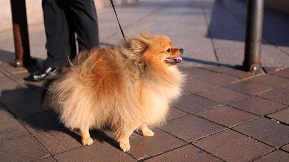 Самые маленькие породы собак, изображение №6