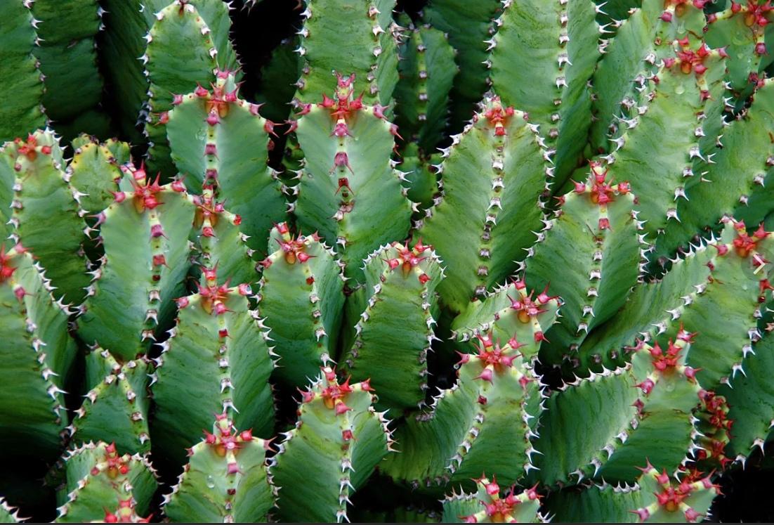 Самое жгучее растение на планете