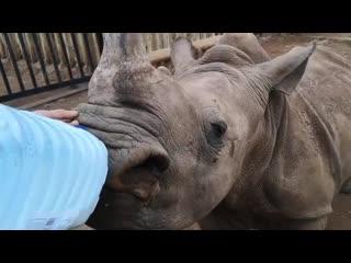 1 year old rhino drinking milk