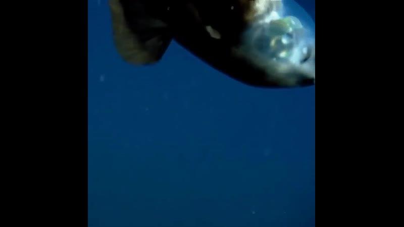 Малоротая макропинна у них прозрачная голова сквозь которую они могут видеть своими трубчатыми глазами