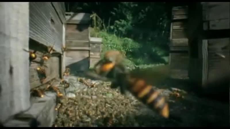 Около 30 000 пчел против 30 шершней