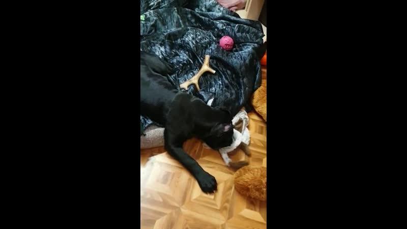 Любимые игрушки для собак от DOGROG Кане корсо