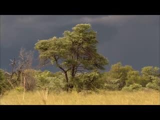 Леопарды дельты Окаванго / Leopards of Dead Tree Island (2010)