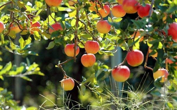 Как правильно посадить яблоню осенью  1. Первым делом следует...