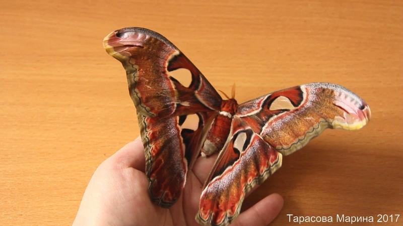 Бабочка Павлиноглазка Атлас Attacus atlas