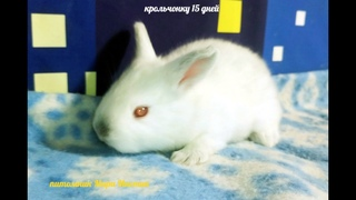 ВЕС крольчат в 15 дней / Калифорнийский кролик / Первые детки Мишель и Ромео / Мари Мистик кролик