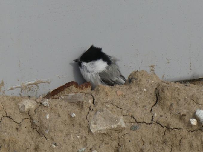 Тобольские учёные подтвердили наличие орнитологической угрозы на городском стадионе «Тобол», изображение №2