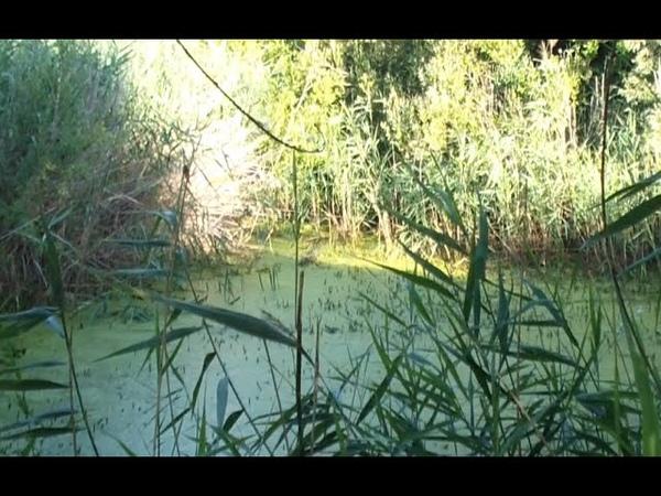 Летнее утро Маленькое болотце рядом с пляжем Варакушка болотная курочка и чижик Черепахи нет