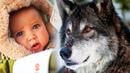 Стая волков спасла и отогрела беременную женщину Эта удивительная история произошла зимой