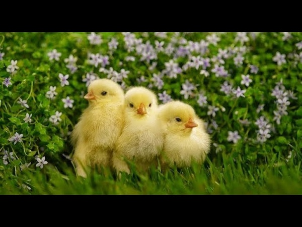 Деревенская жизнь куры, петушки и цыплята. Village life hen, cockerels and chickens.